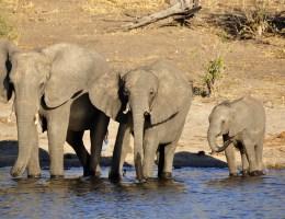 Botswana: Jagdverbot auf Elefanten storniert