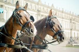 Pferde müssen bei Hitze keine Kutschen mehr ziehen