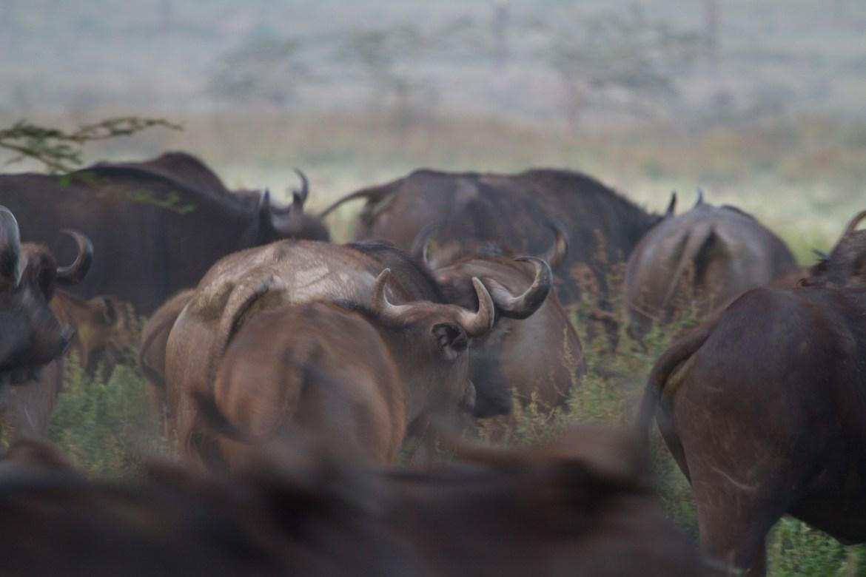 Simbabwe Jagd auf Büffel mit Pfeil und Bogen erlaubt