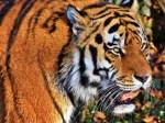 Indien Zahl der Tiger steigt auf fast 3000