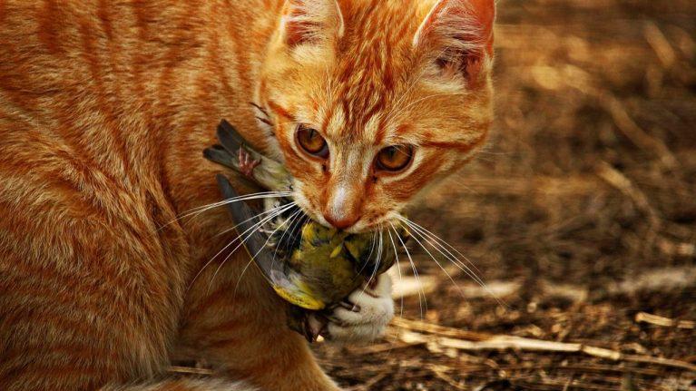 cropped-Australien-Katzen-gefährden-heimische-Arten.jpg