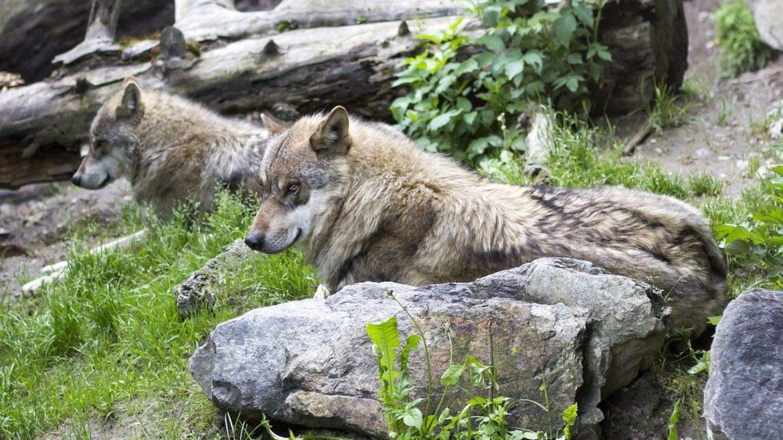 cropped-Neue-Wolfsrudel-in-der-Schweiz.jpg