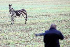 Zebra Zirkus