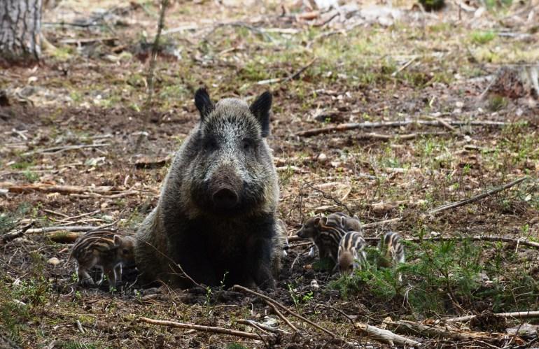 Österreich Wildschwein-Jagd ist purer politischer Aktionismus