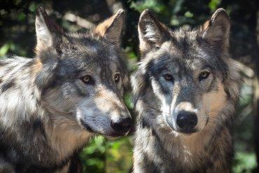 Jagdgesetz BAFU stellt sich gegen Parlament