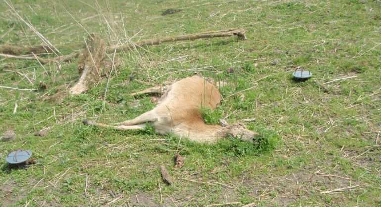 Tierkadaver Beleben das Ökosystem