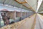Niederlanden Coronavirus auf Nerzfarm entdeckt