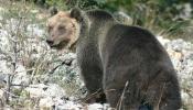 Trentino Bär M49 gefangen