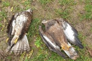 Greifvögel: Fälle von Wilderei nehmen in Deutschland zu