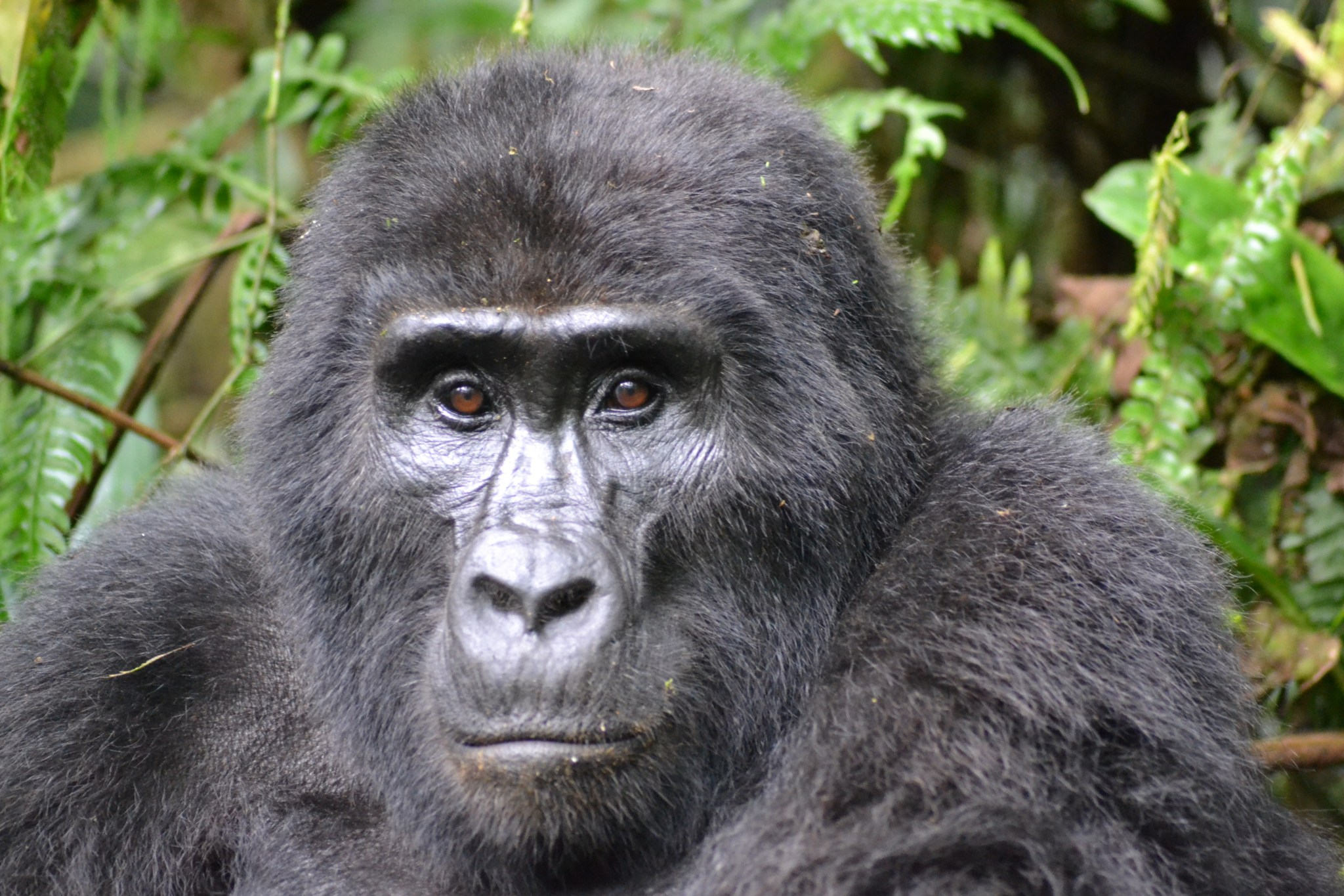 Berggorilla getötet Wilderer muss elf Jahre in Haft
