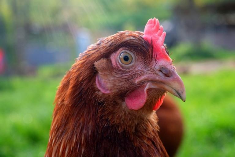 Hühnerköpfe besiegten die Tollwut