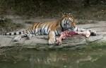 Zoo Zürich Tiger tötet Tierpflegerin