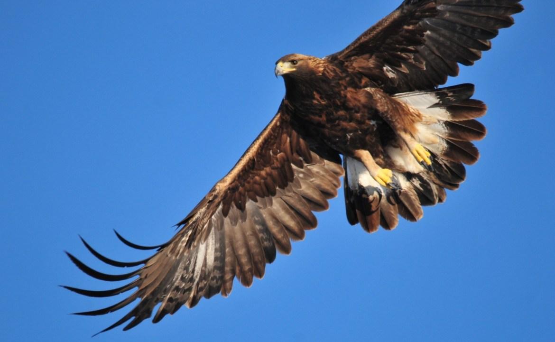 Hobby-Jäger schiesst geschützten Steinadler