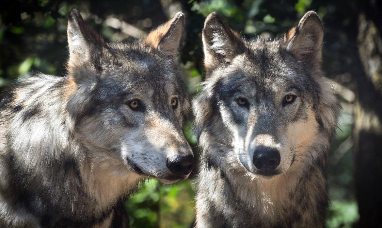 Umfrage EU-Bürger für Wölfe