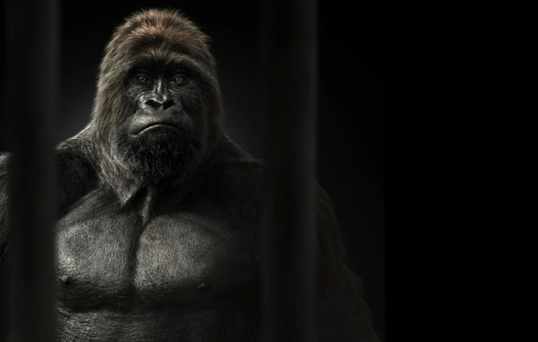 Gorilla kommuniziert in berührendem Video Wunsch nach Freiheit