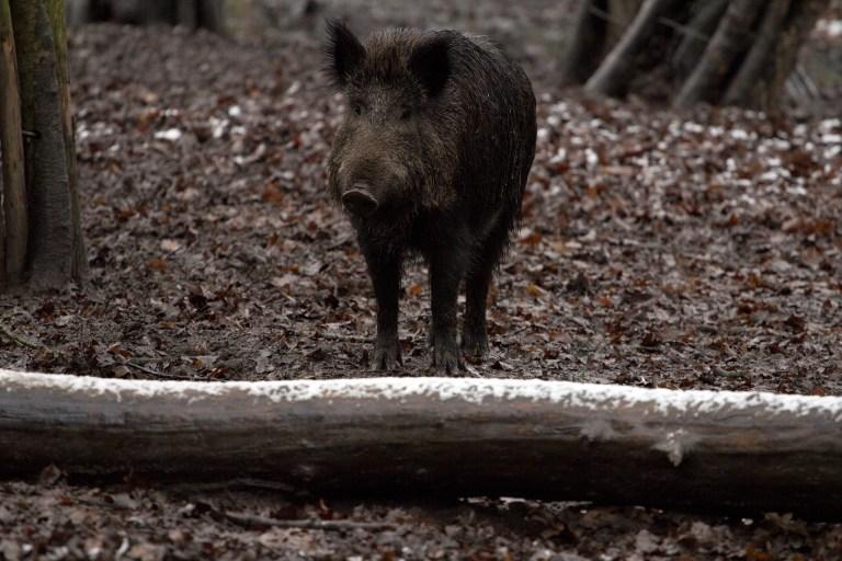 Friedliche Koexistenz mit Wildschweinen