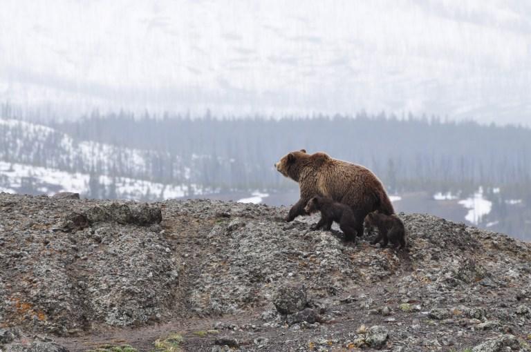 Bundesrat verabschiedet Bericht über den Umgang mit Bären