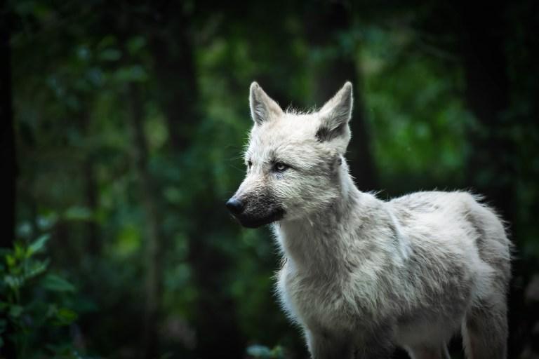Erneut ein Wolf im Wallis gewildert