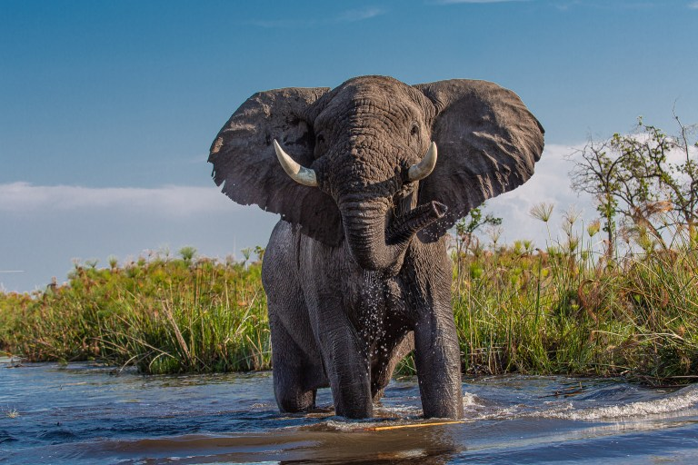 Mysteriöses Elefantensterben geht in Botswana weiter