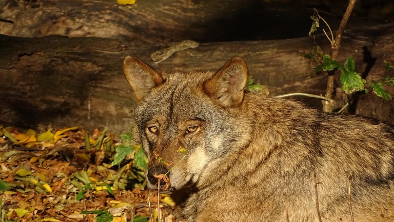Spanien will keine Jagd mehr auf Wölfe