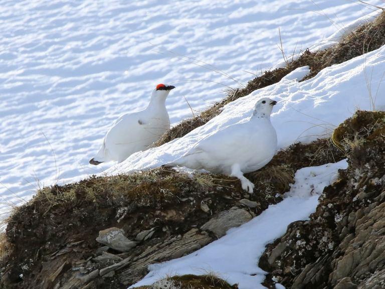 Kanton Tessin schützt das Schneehuhn vor den Hobby-Jägern