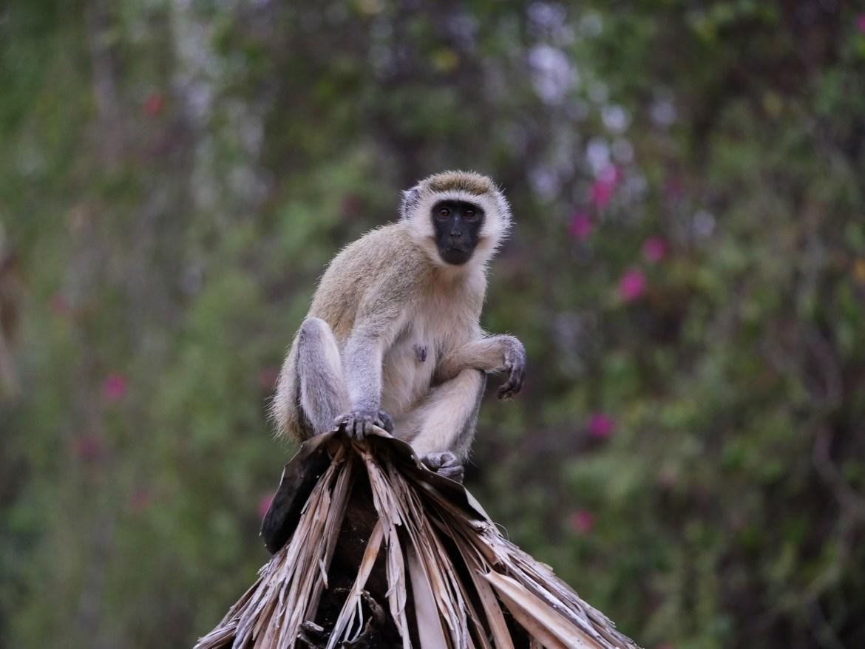 Schweizer Hobby-Jäger jagen in Afrika Primaten