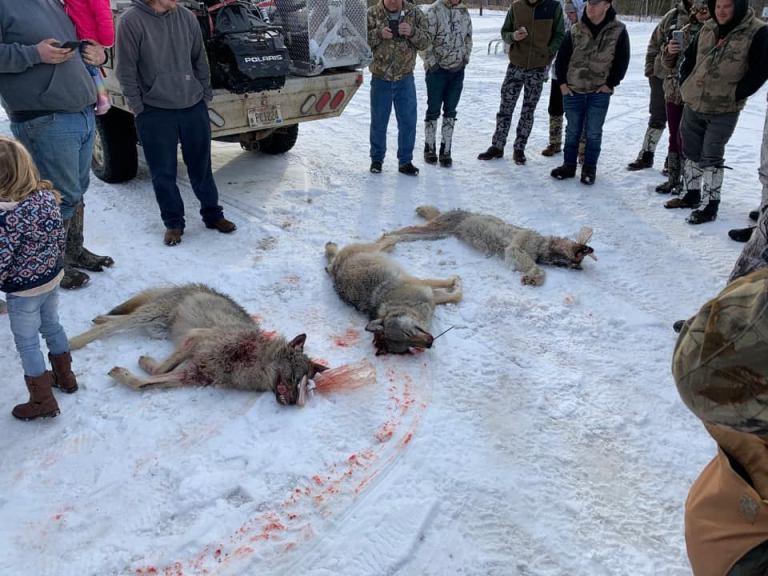 Jäger richten fürchterliches Massaker unter Wölfen an