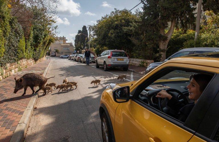 Wildschweine geniessen das Leben in Haifa