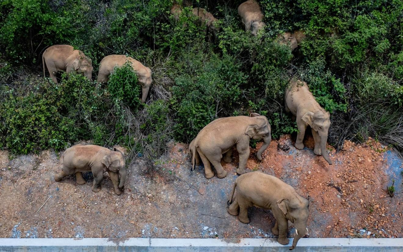 Wandernde Elefantenherde legt Pause ein