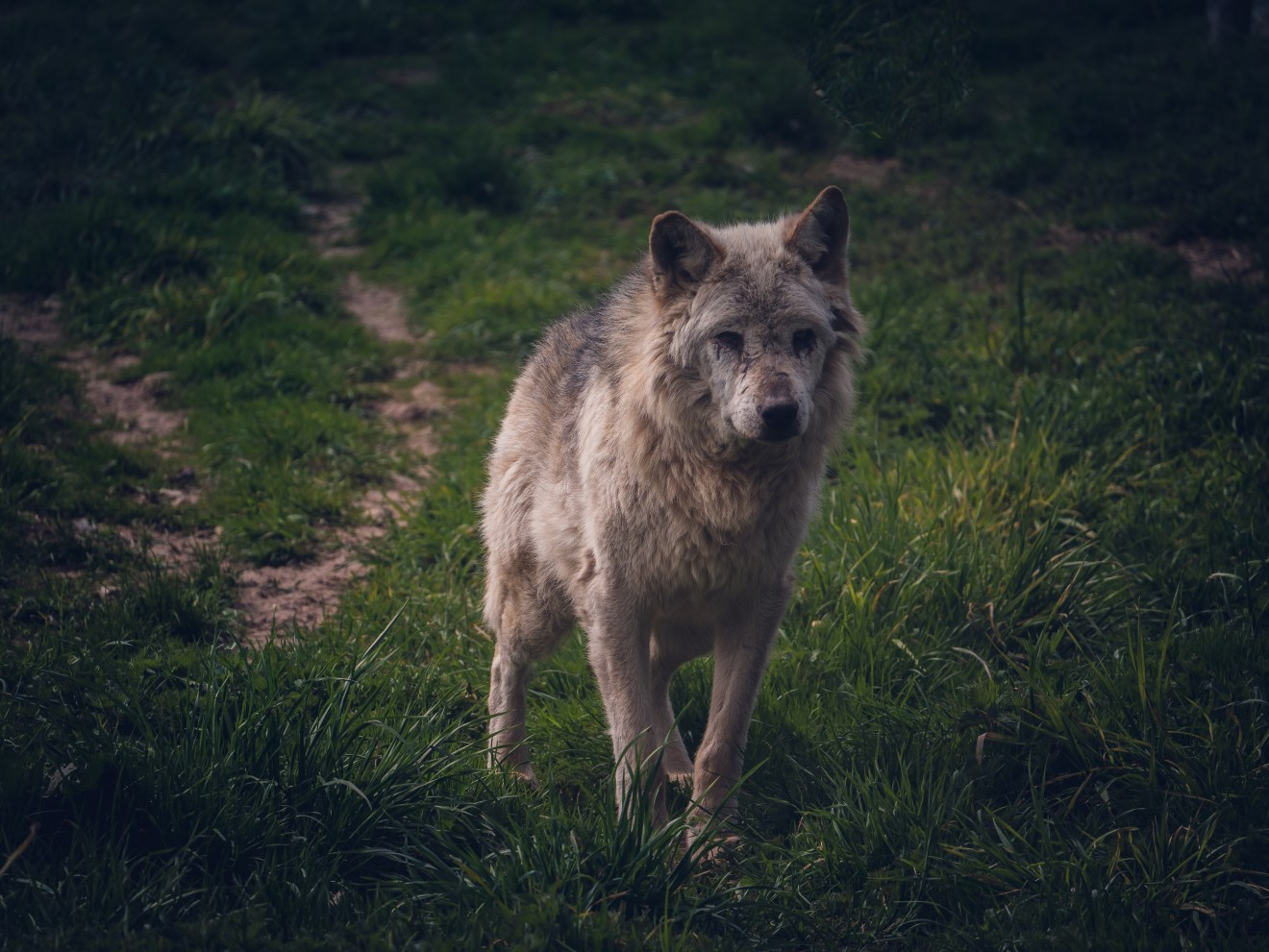Zusammenfassung der Wolf-Situation im Kanton Schwyz