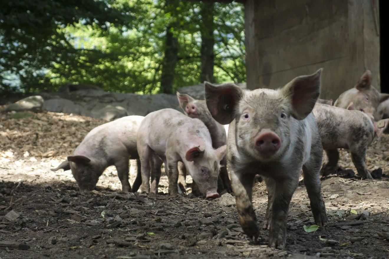 Erstmals Zuchtschweine in Deutschland mit Afrikanischer Schweinepest infiziert