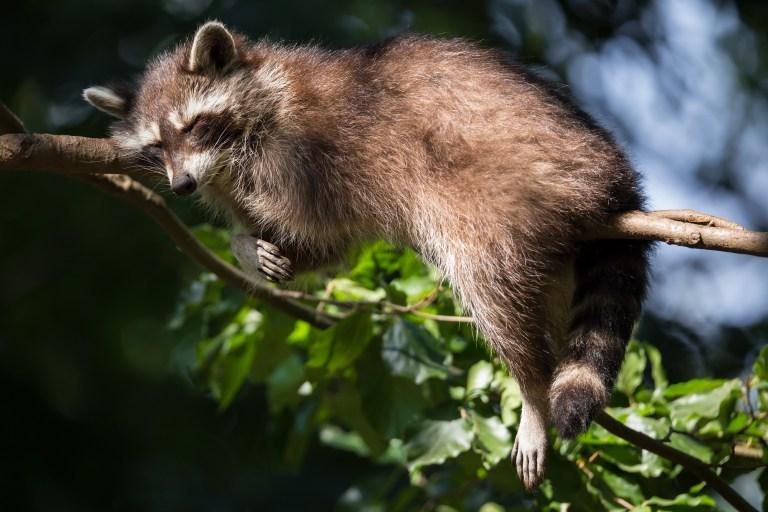 Amt für Wald beider Basel will Waschbären töten