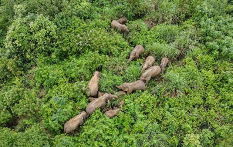 Chinas wandernde Elefanten sind fast wieder zu Hause