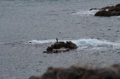 Telephoto lens says: Cormorant?