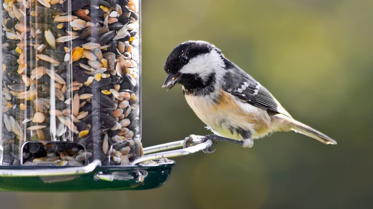 Photo of Black-capped Chickadee perched on a backyard birdfeeder