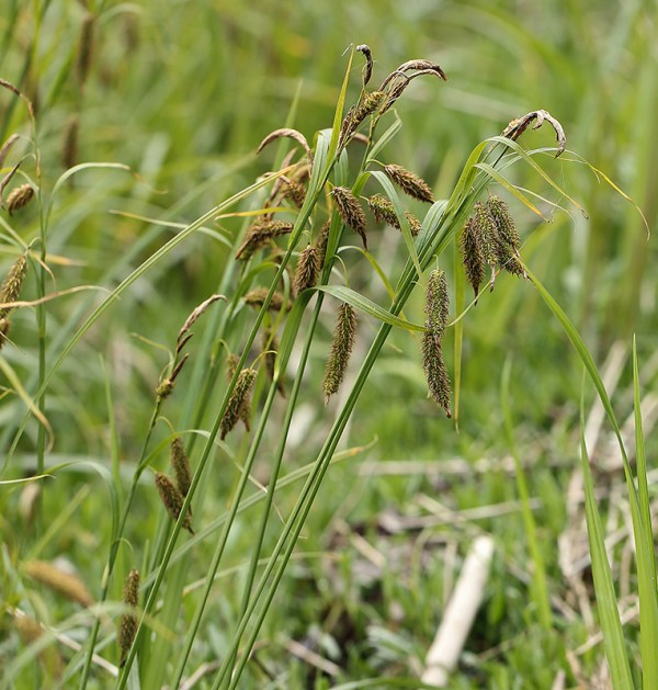 Carex lyngbyei, Lyngbyei Sedge