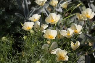 Sissinghurst - Californian Poppies