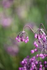 Sissinghurst - Allium cernum