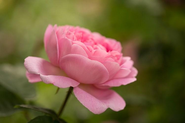 Graceful rose