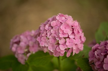 Hydrangea macrophylla 'Pink'