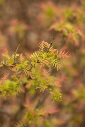 Sorbaria sorbfolia 'Sem'