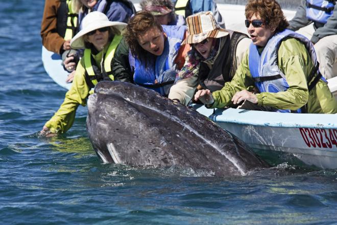 Tourists watching Grey Whale (Eschrichtius robustus), San Ignacio Lagoon, El Vizcaino Biosphere Reserve, Baja California, Mexico, February