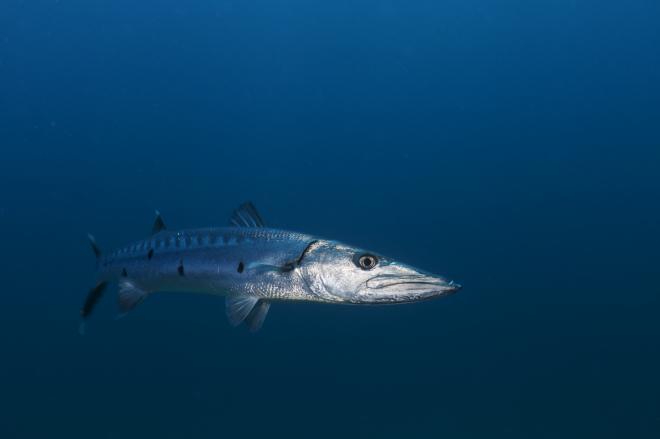 Great Barracuda (Sphyraena barracuda), Guanahacabibes Peninsula National Park, Pinar del Rio Province, western Cuba, September