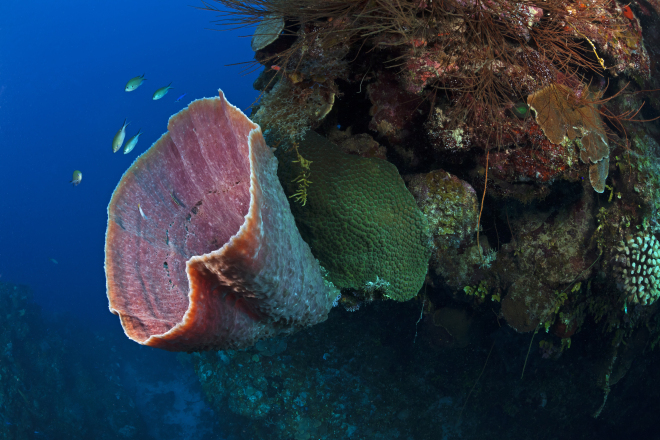 Brown Bowl Sponge (Cribochalina vasculum), Guanahacabibes Peninsula National Park, Pinar del Rio Province, western Cuba, September