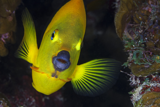 Rock Beauty (Holacanthus tricolor), Guanahacabibes Peninsula National Park, Pinar del Rio Province, western Cuba, September