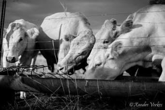 Xandre Verkes - Cattle Farm-21