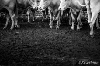 Xandre Verkes - Cattle Farm-9