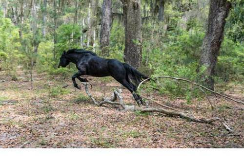 This large stallion continues to try to escape.