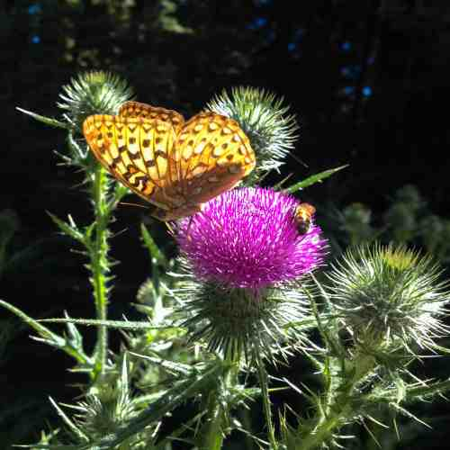 B is for Butterfly, Bee and Bull Thistle