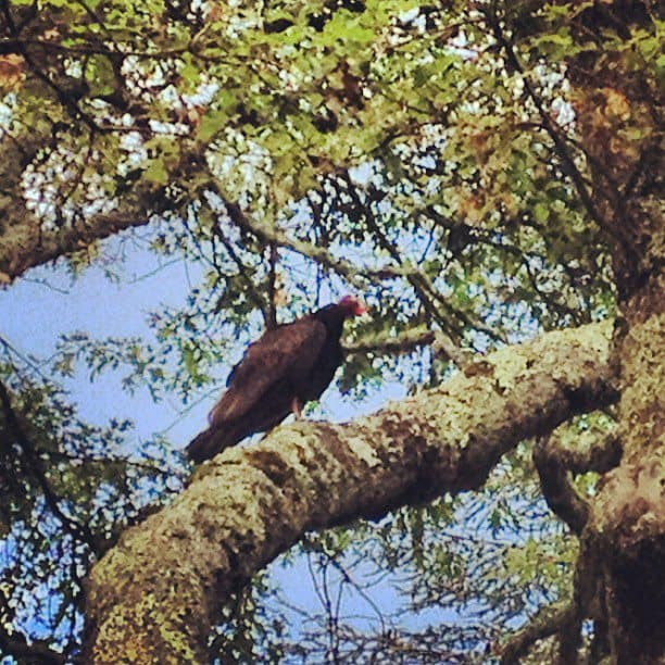 Turkey vulture on our walk